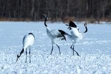 Dancing Pair Of Red-crowned Cranes (grus Japonensis) With Open Wings On Snowy Meadow, Mating Dance Ritual, Winter, Hokkaido, Japan, Japanase Crane, Beautiful White And Black Birds, Elegant, Wildlife