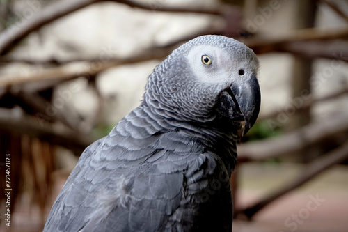 In de dag Papegaai Pretty gray parrot