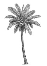Coconut Tree Illustration, Dra...