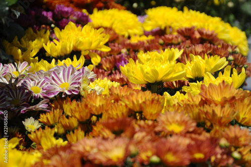 Fototapety, obrazy:  Various species of chrysanthemum flowers planted and grows in the Royal Floria Garden in Putrajaya, Malaysia.