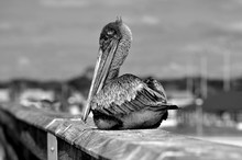 Pelican Resting On Fishing Pier At Florida, USA