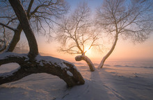 Winter Trees At The Sunset