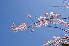 Ett Litet Körsbärsträd Som ...