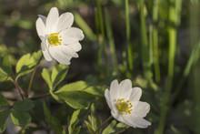 Vitsippor Blommar Under Våren På ängar Och I Skogen