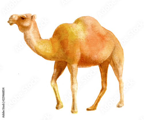 watercolor illustration of a camel, isolated drawing from