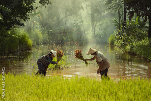 Fotografie, Obraz  Asia farmer transplanted rice seedlings to be sent for planting in rice field