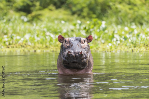 Valokuva Nile Hippo