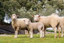 Group Of Adult Sheep And Lamb ...