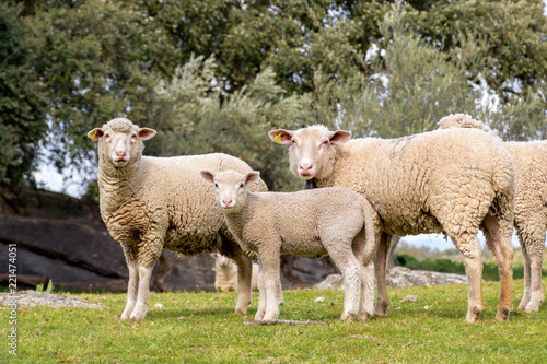 Group of adult sheep and lamb staring in pasture with holm oaks.