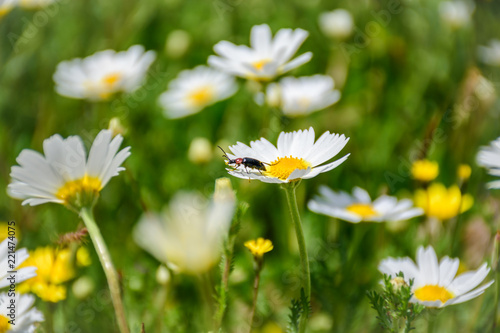 Foto op Canvas Madeliefjes Detail of beetle on a daisy. Sunny and spring day.