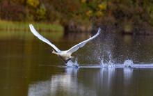 Trumpeter Swan Takeoff