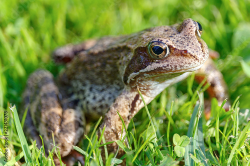 Tuinposter Kikker Portrait of brown frog in green grass closeup