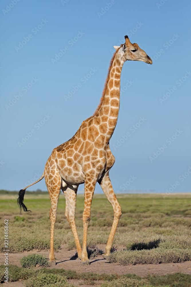 A giraffe (Giraffa camelopardalis) on the plains of Etosha National Park, Namibia.