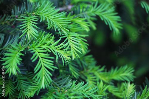 Hemlock Pine Bush