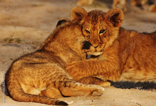 Staande foto Leeuw lion cubs in Serengeti
