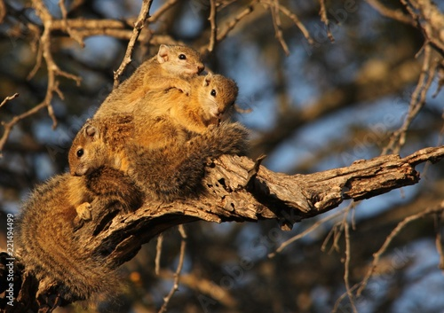 Zdjęcie XXL Drzewna wiewiórka w kruger parku narodowym