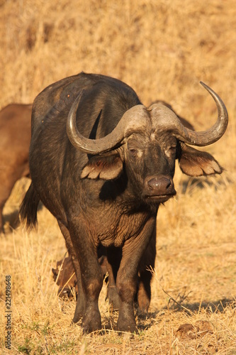 Keuken foto achterwand Buffel Buffalo in Kruger National Park