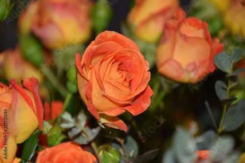 Fototapeta herbaciane róże obraz