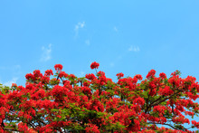 The Flame Tree , Chiang Mai Th...
