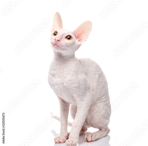 Photo  Thoroughbred White Cornish Rex Cat on white background.
