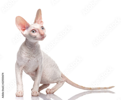 Thoroughbred White Cornish Rex Cat on white background. Canvas Print