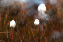 Arctic Cotton Grass Flowers On The Summer Meadows, Photographed In Greenland