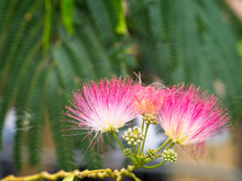 Close-up Of Persian Silk Tree Or Pink Siris (Albizia Julibrissin) Flowers. Foliage And Immature Fruit In The Background.