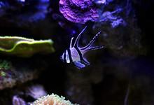 Banggai Cardinalfish - Pterapogon Kauderni