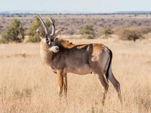 Roan Antelope Portrait