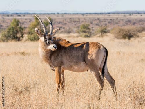 Deurstickers Ezel Roan Antelope Portrait