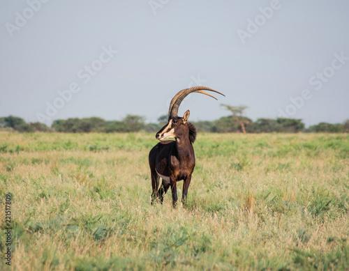 Fotografie, Obraz  Sable Antelope