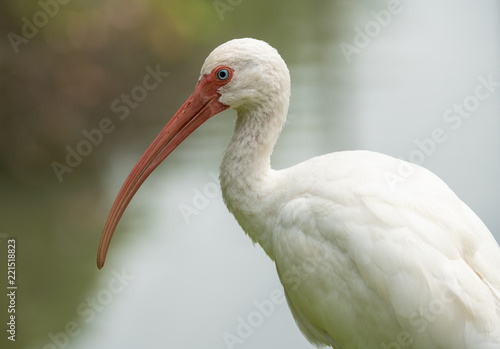 Photo  white ibis gets a side profile shot