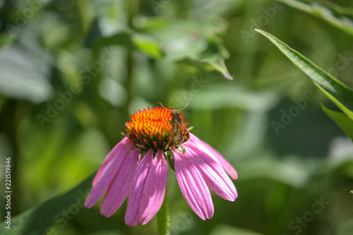 Fotografie, Obraz  Single isolated pink coneflower with skipper butterfly