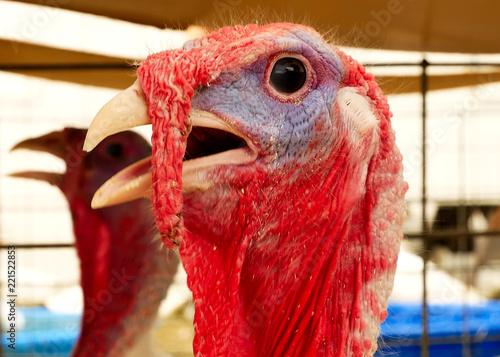 Vászonkép  Turkey, Meleagris gallopavo, at the farm agriculture bird head closeup