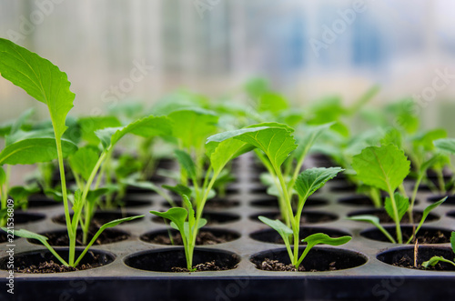 Cabbage seedlings in the greenhouse