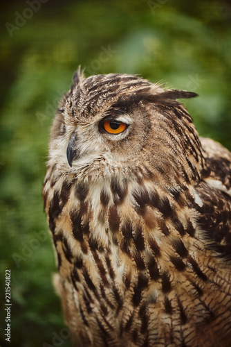 Keuken foto achterwand Uil Wild big owl closeup, eyes of an owl
