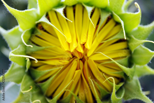 Sunflower blooming, bud with petals close up texture macro detail, organic background