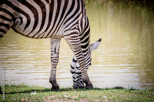 Tuinposter Zebra Zebra head eating grass on the ground