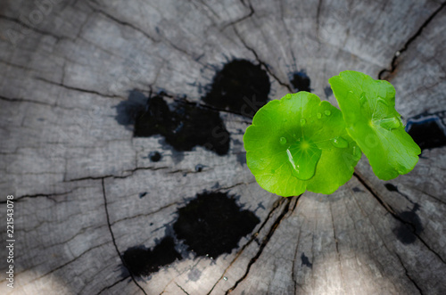 Spoed Foto op Canvas Natuur new green leaf born on old tree, water drop on new green leaf ,nature stock photo.