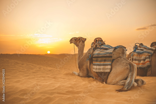 Photo camel in the Sahara Desert