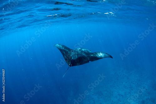 Obraz na płótnie Manta Rays in Hanifaru bay, Maldives