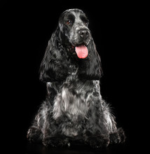 English Cocker Spaniel Dog  Is...