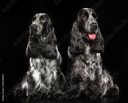English cocker spaniel Dog  Isolated  on Black Background in studio Canvas Print