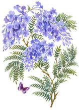Jacaranda Tree With Flowers An...