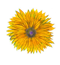 Watercolor Hand Painted Herbal Design Element. Yellow Flower.