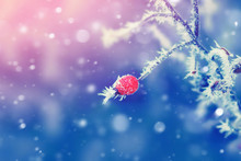 Plant With Red Berry Covered With Ice Frost. Winter Blue Background