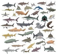 Many Sharks Species Of The Wor...