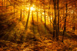 Forest of Beech Trees in Autumn Foliage, Sunbeams through Fog