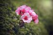 Leinwandbild Motiv geranium flower blooming at rainy season