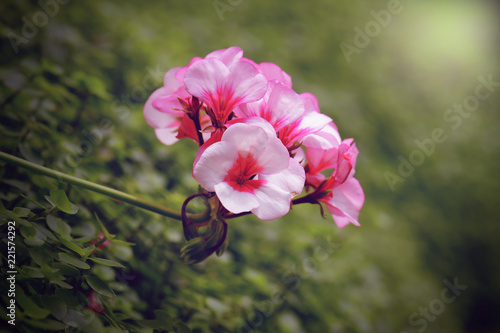 geranium flower blooming at rainy season